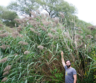 Man standing in front of tall invasive Phramites