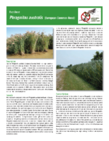 Lambton Shores Invasive Phragmites Factsheet